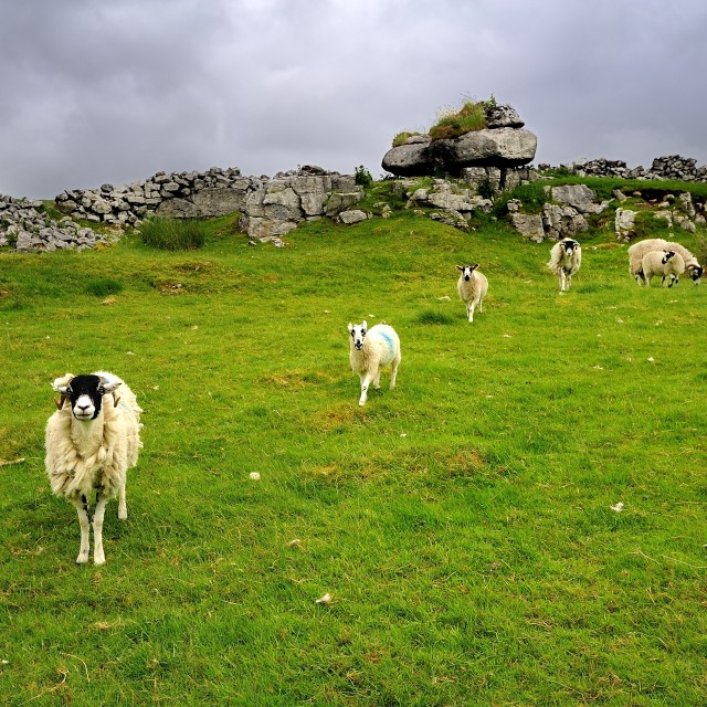 """""""Sheep in a Line"""" stock image"""