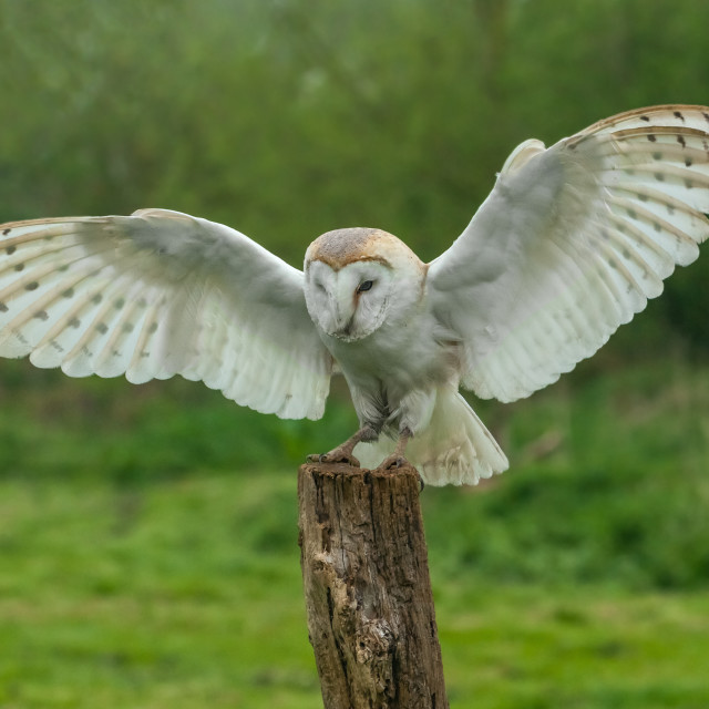 """Barn Owl landing on a tree stump"" stock image"