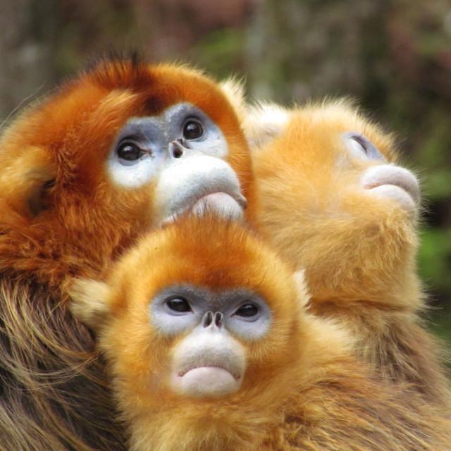 """""""monkeys"""" stock image"""