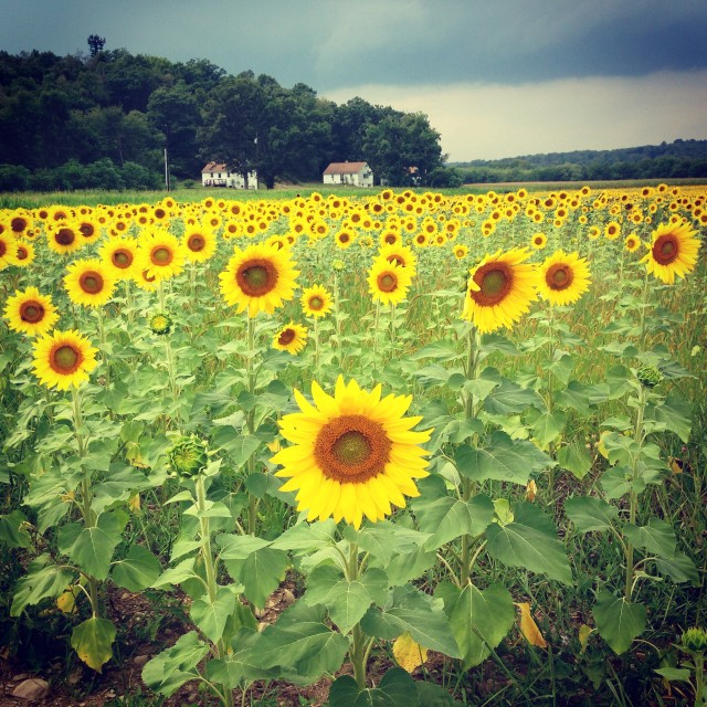 """sunflower maze"" stock image"