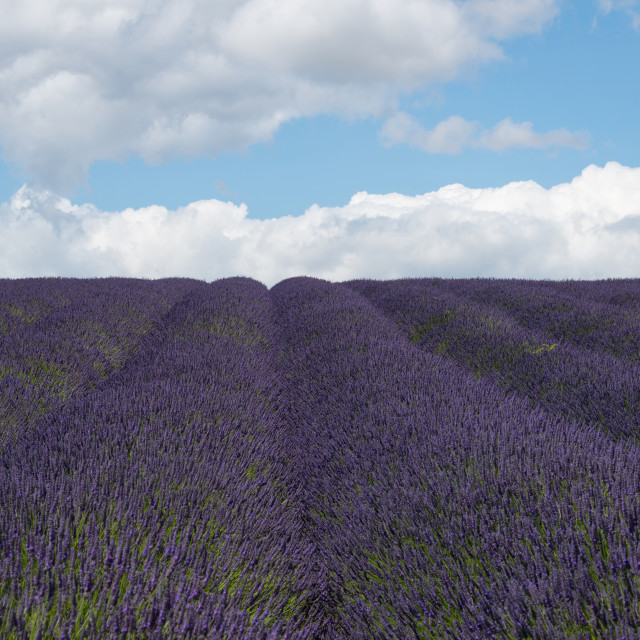 """Lavender Lines"" stock image"
