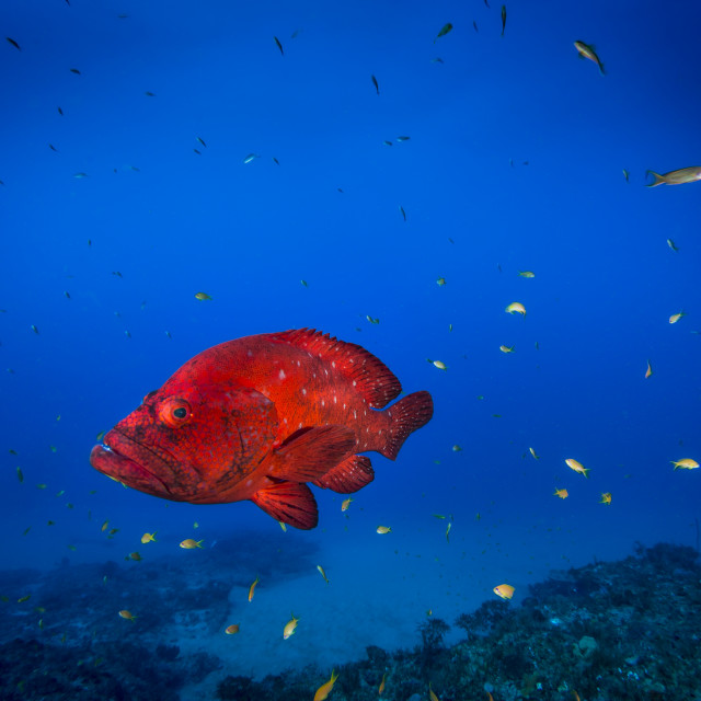 """Coral grouper"" stock image"