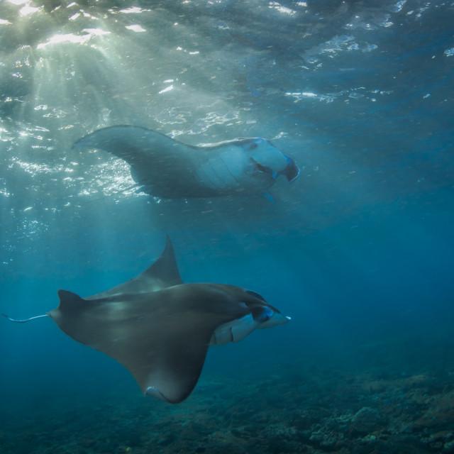 """""""Manta rays"""" stock image"""
