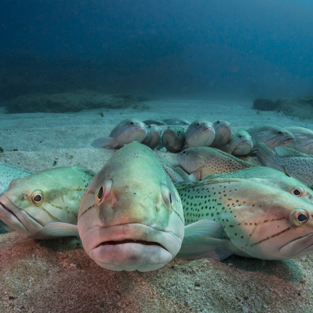 """Groupers"" stock image"