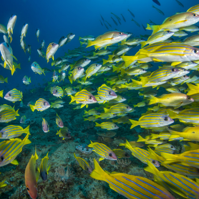 """School of snappers"" stock image"