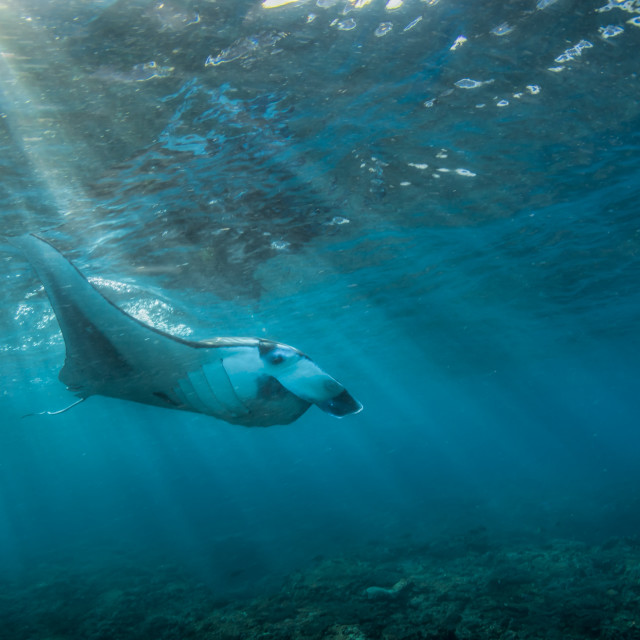 """Manta ray"" stock image"