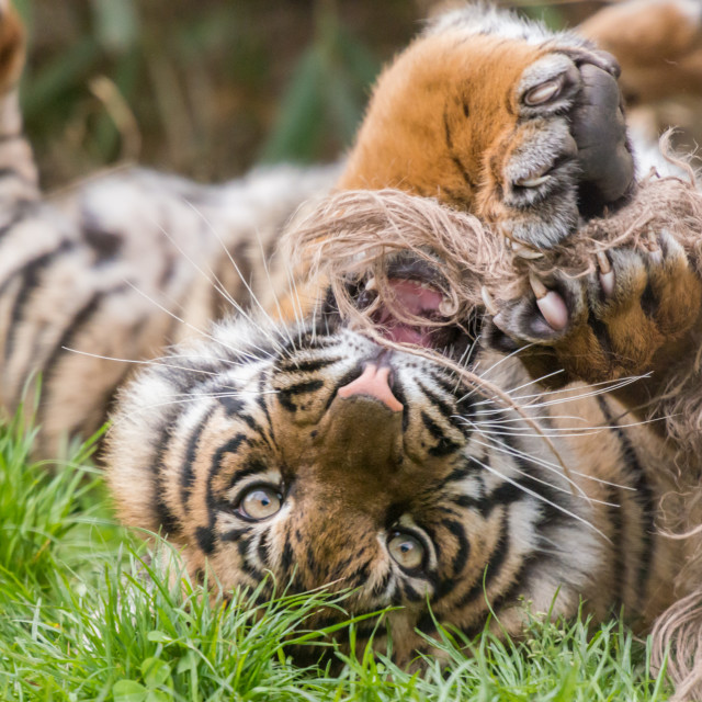 """""""A young tiger upside down playing with rope"""" stock image"""