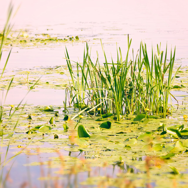 """Reeds and Waterlilies in the Pink River"" stock image"