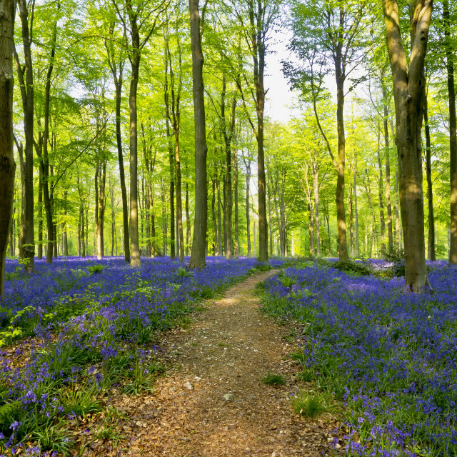 """""""The Bluebell Path"""" stock image"""