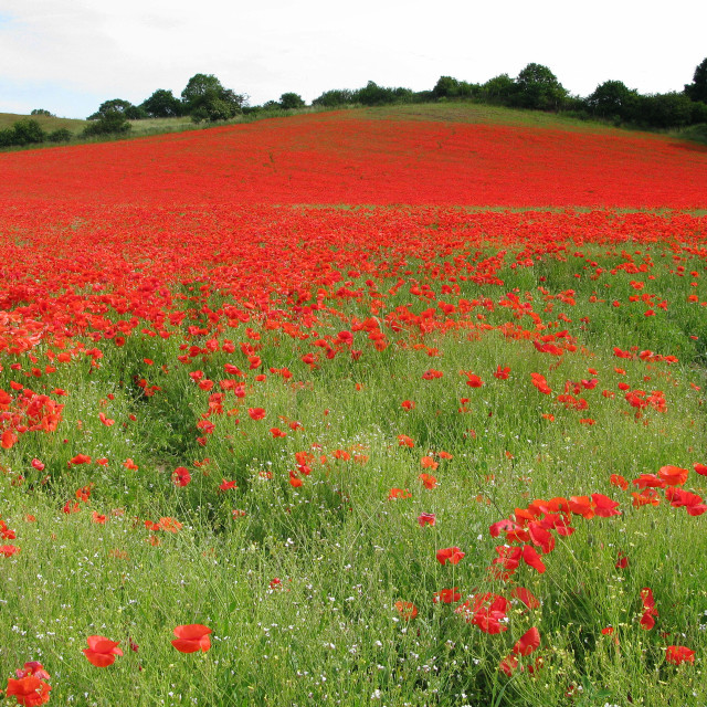 """""""Hill of Poppies"""" stock image"""