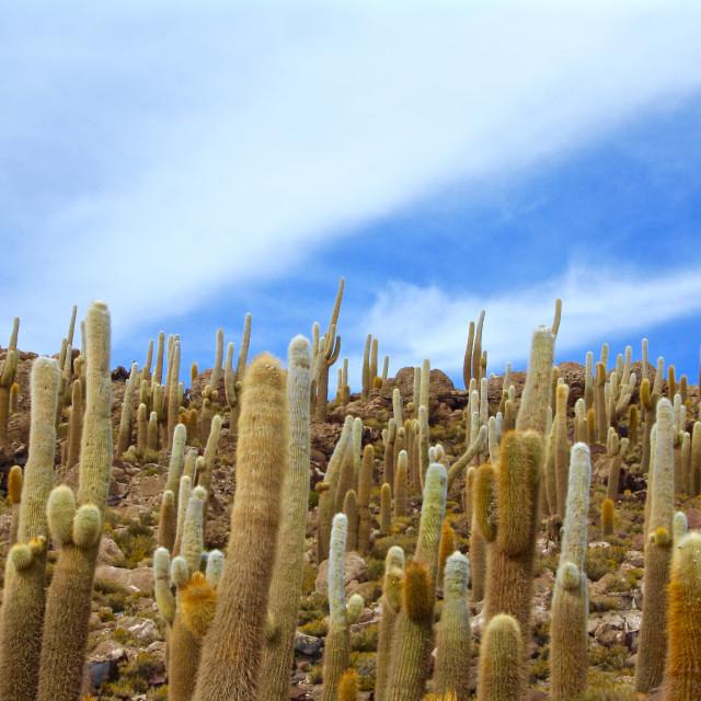 """Cactuses or cacti in Salar de Uyuni salt Flats in Bolivia"" stock image"
