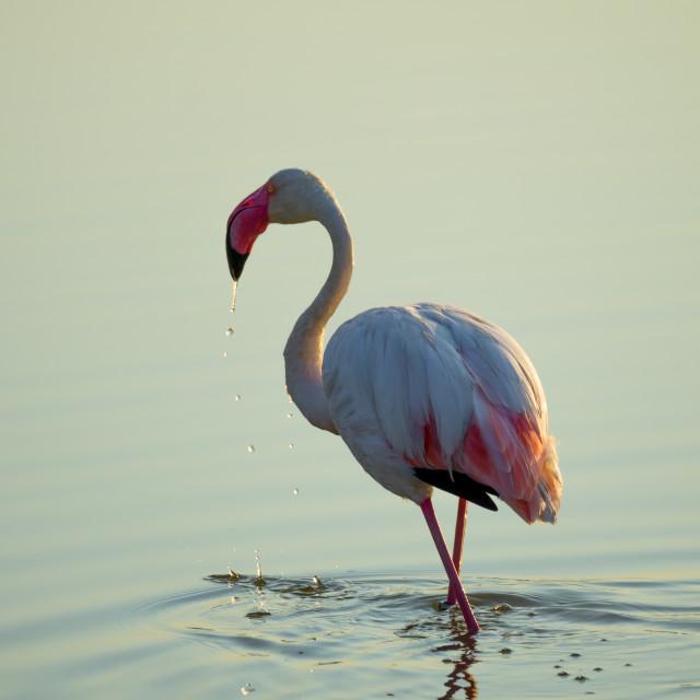 """flamingo drops"" stock image"