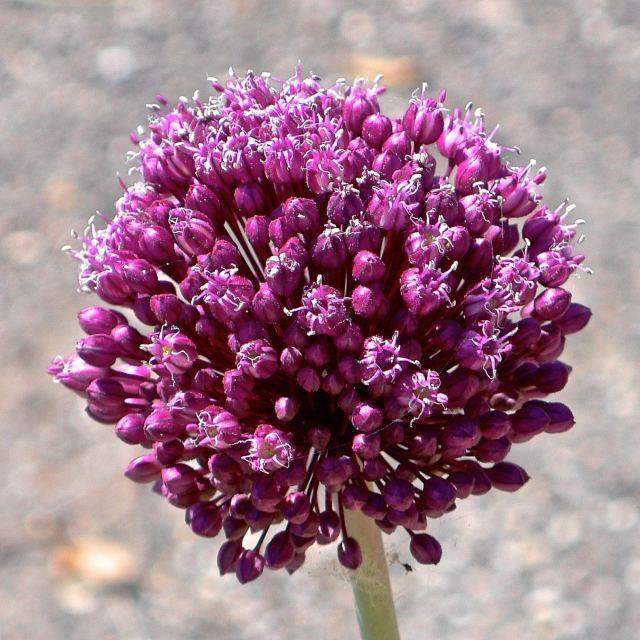 """""""Fiore di aglio selvatico"""" stock image"""