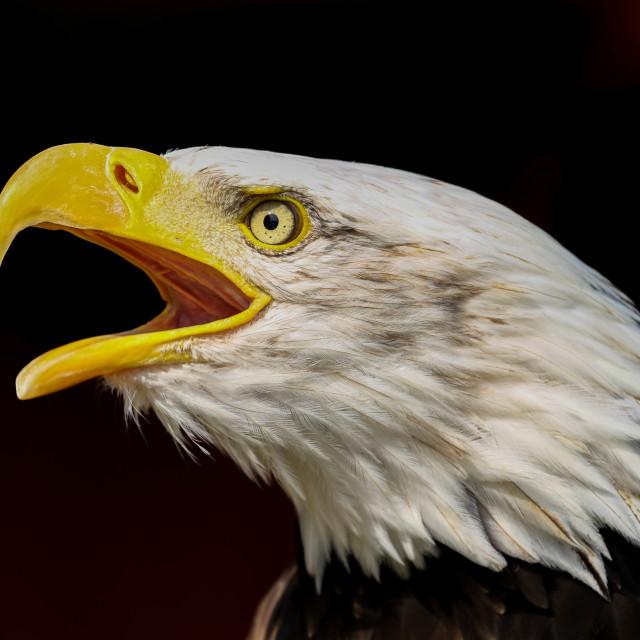 """""""Close-up Bald Eagle"""" stock image"""
