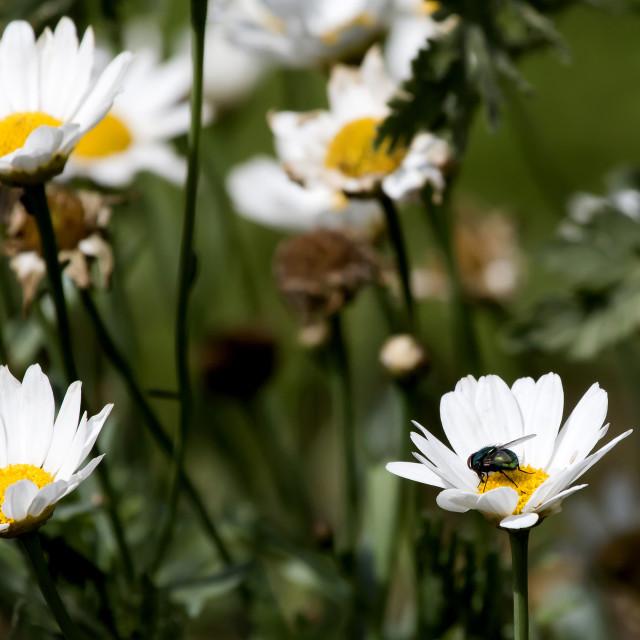 """Bluebottle on a Flower."" stock image"