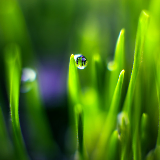 """Water Droplet on Wheat Grass"" stock image"