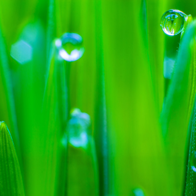 """Wheat Grass with Water Droplets"" stock image"