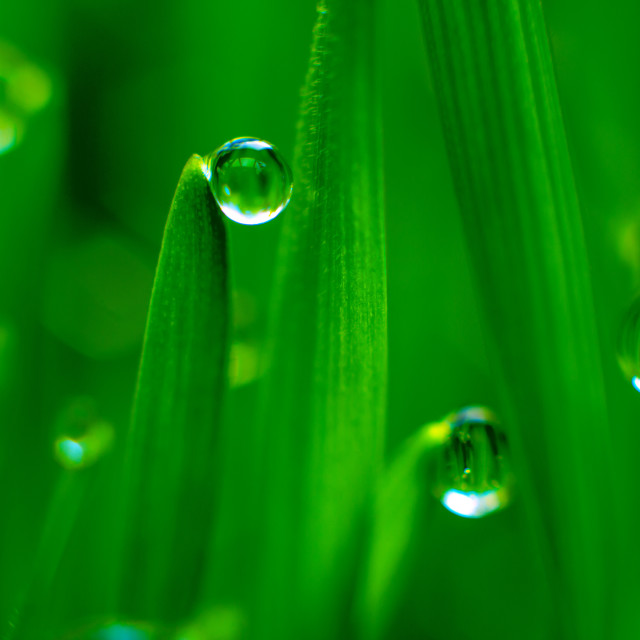 """Water Droplets on Wheat Grass"" stock image"