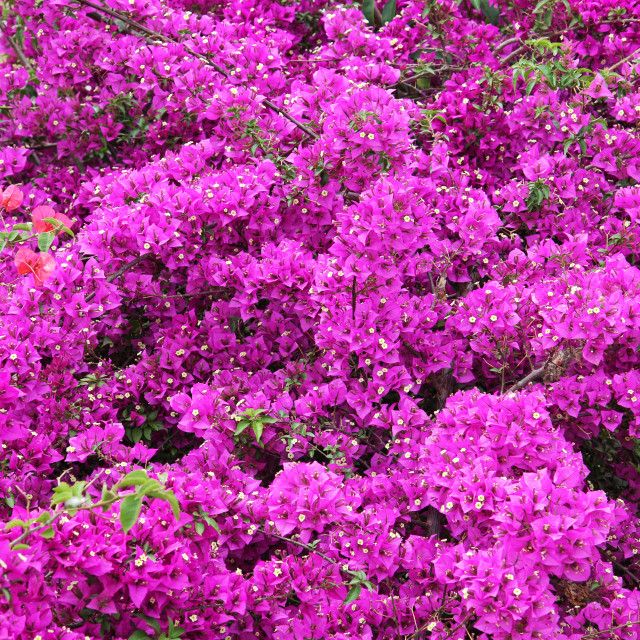 """Bougainvillea Flowers"" stock image"