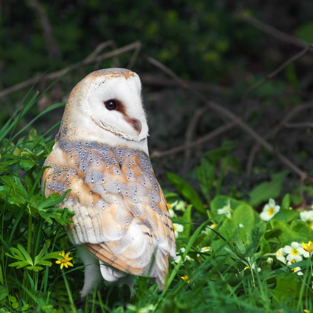 """Barn Owl amongst the primroses"" stock image"