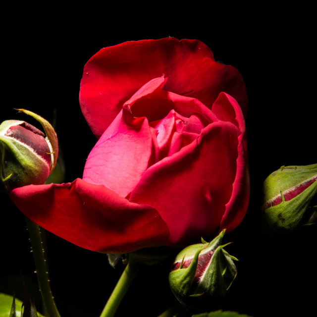 """Red rose and buds"" stock image"
