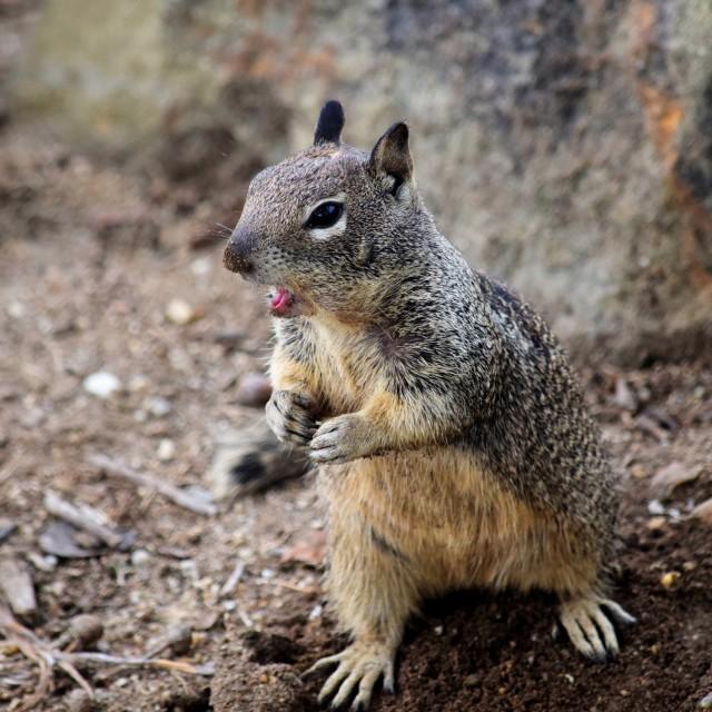 """Talking Squirrel"" stock image"