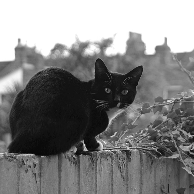 """""""A black and white cat on a Wall"""" stock image"""