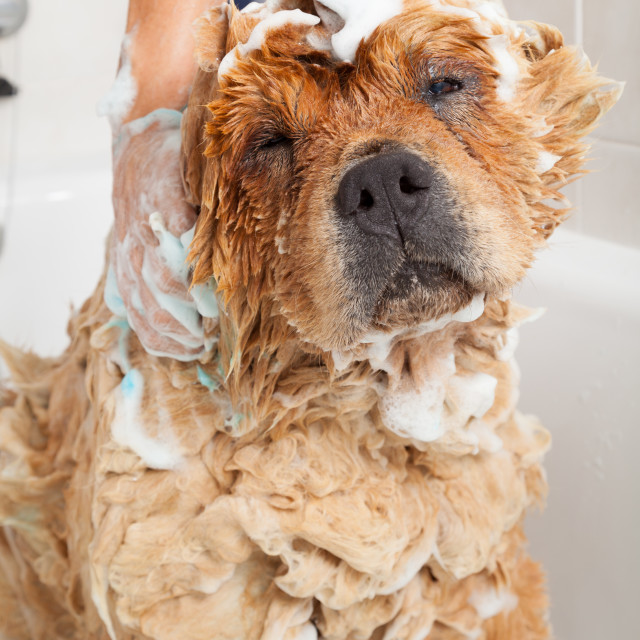 """Bathroom to a dog chow chow"" stock image"