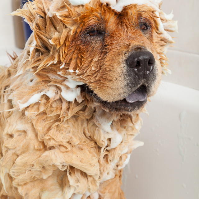 """""""Bathroom to a dog chow chow"""" stock image"""