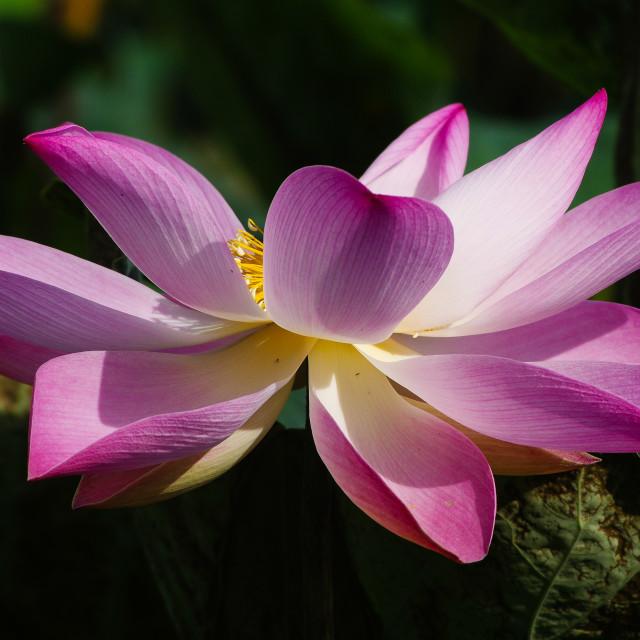 """""""A pink lotus"""" stock image"""