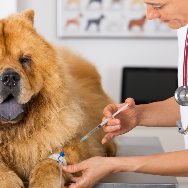 """""""By listening to a dog Chow Chow"""" stock image"""
