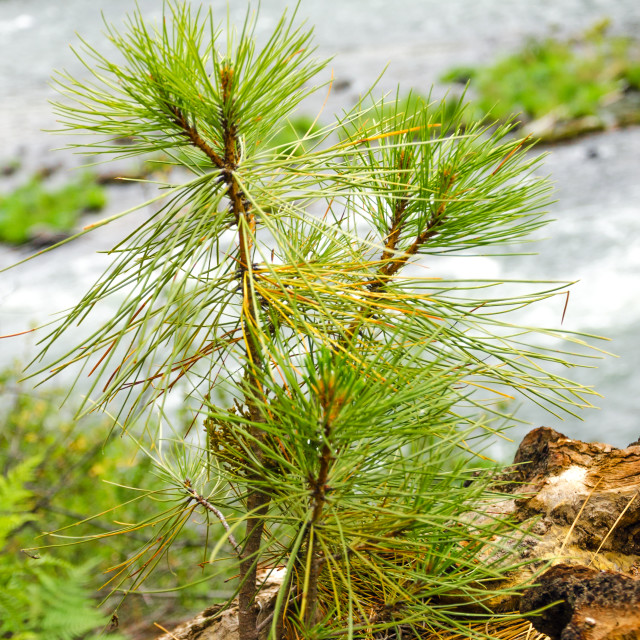 """""""Pine Tree Sapling"""" stock image"""