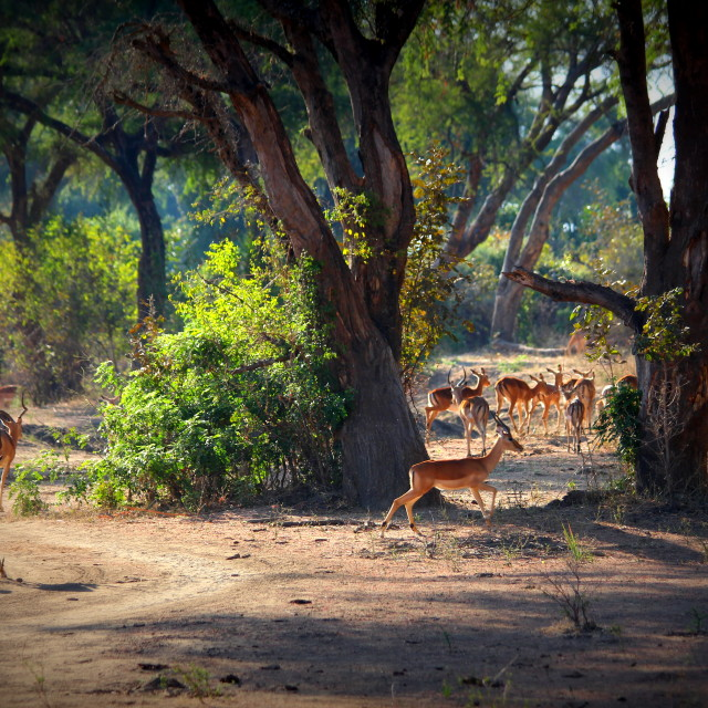 """Impalas in Zambia"" stock image"
