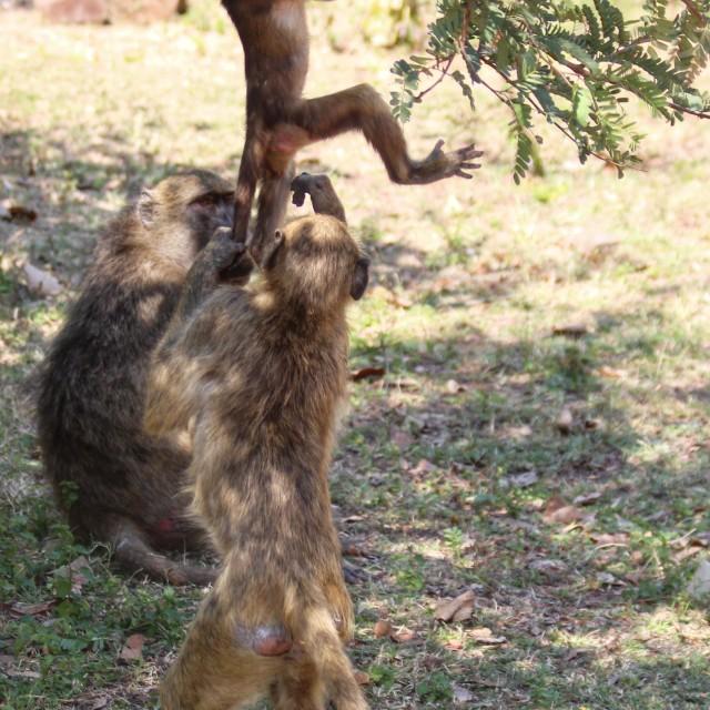 """""""Monkeying around"""" stock image"""