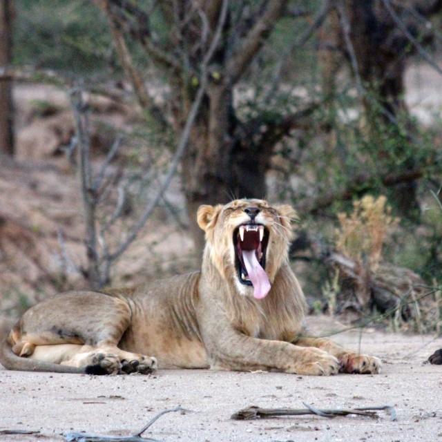 """Smiling Lion"" stock image"