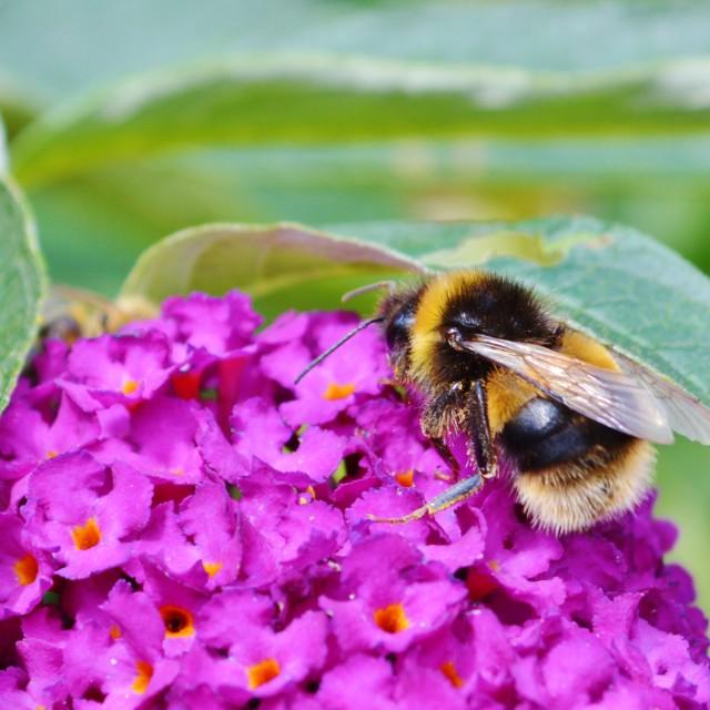 """Bumble Bee."" stock image"
