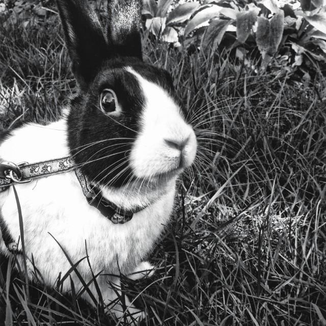 """Dutch rabbit in garden"" stock image"