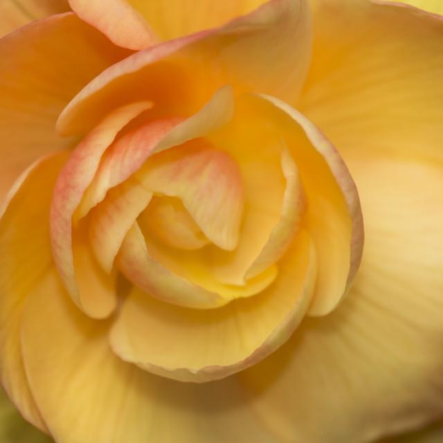 """Begonia Apricot"" stock image"