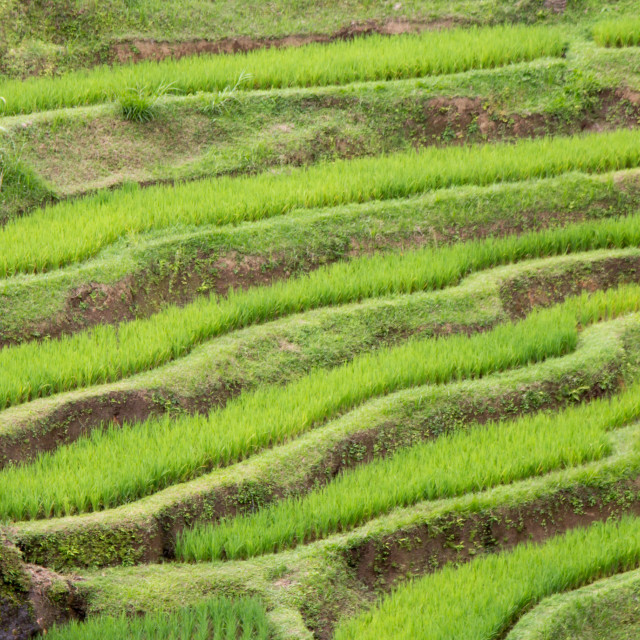 """rice terrace at bali"" stock image"
