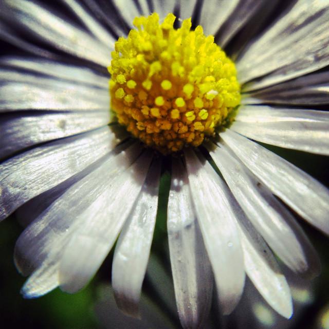 """""""Daisy daisy..."""" stock image"""