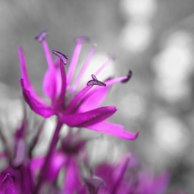 """Colour popped allium flower"" stock image"
