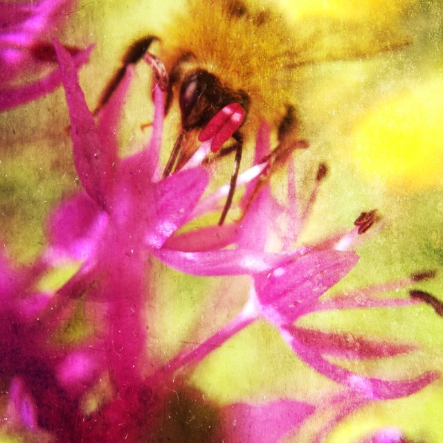"""Bee on Allium flower"" stock image"
