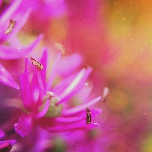 """""""Allium flower"""" stock image"""