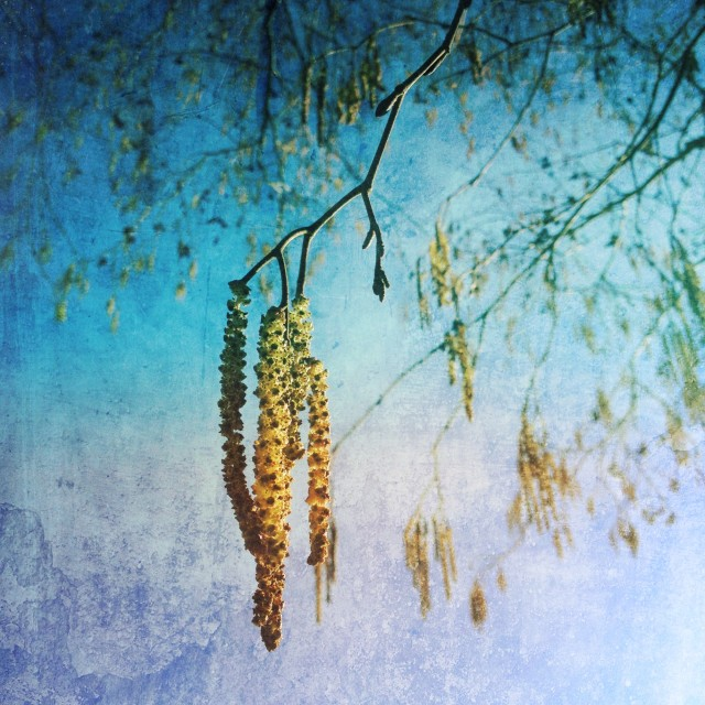 """""""Pussy willow tree"""" stock image"""