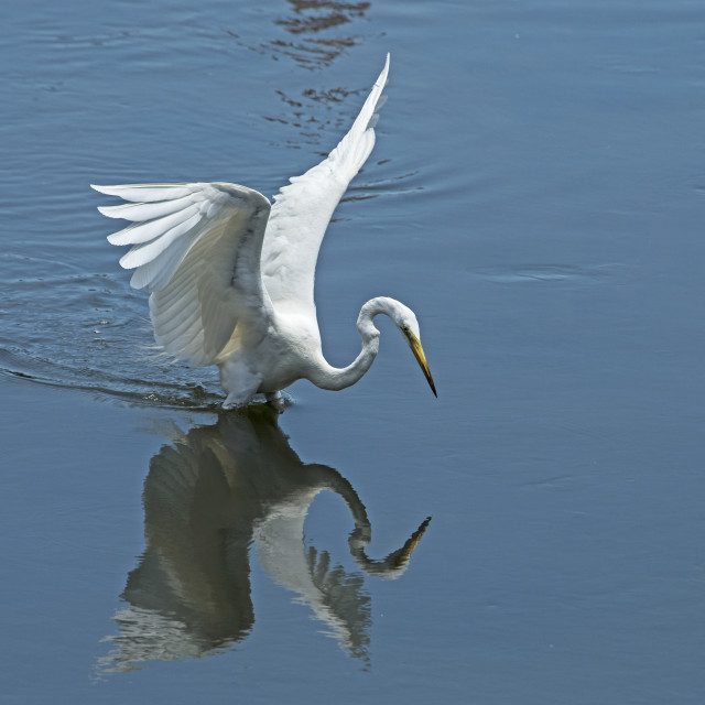 """Great Egret (Ardea alba) (VI)"" stock image"