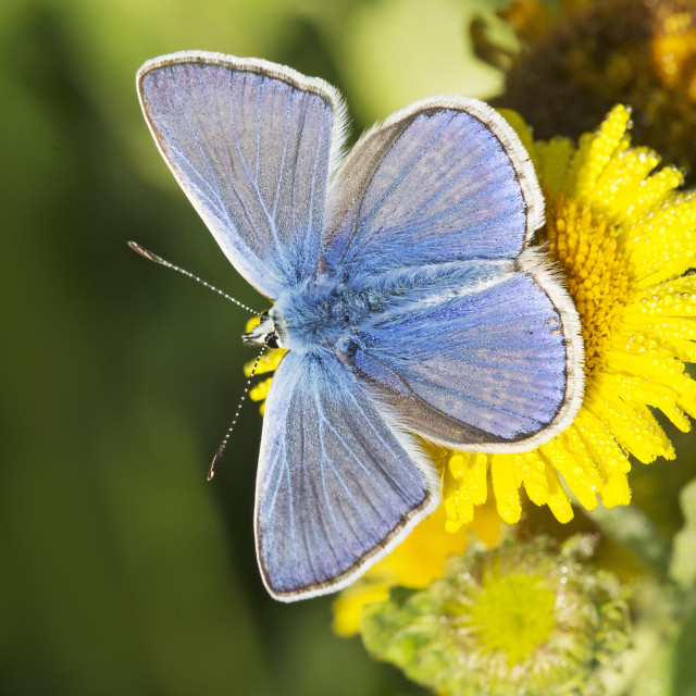 """Common Blue Butterfly (Polommatus icarus) (III)"" stock image"