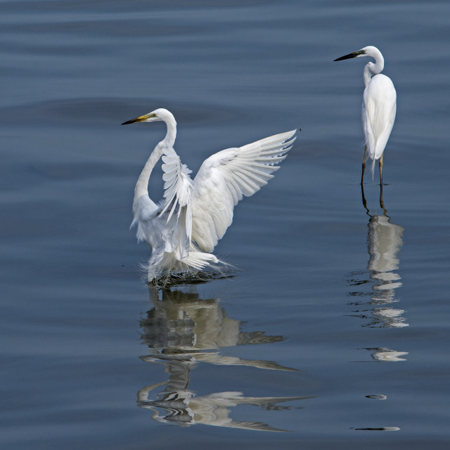 """Great Egrets (Ardea alba) (X)"" stock image"