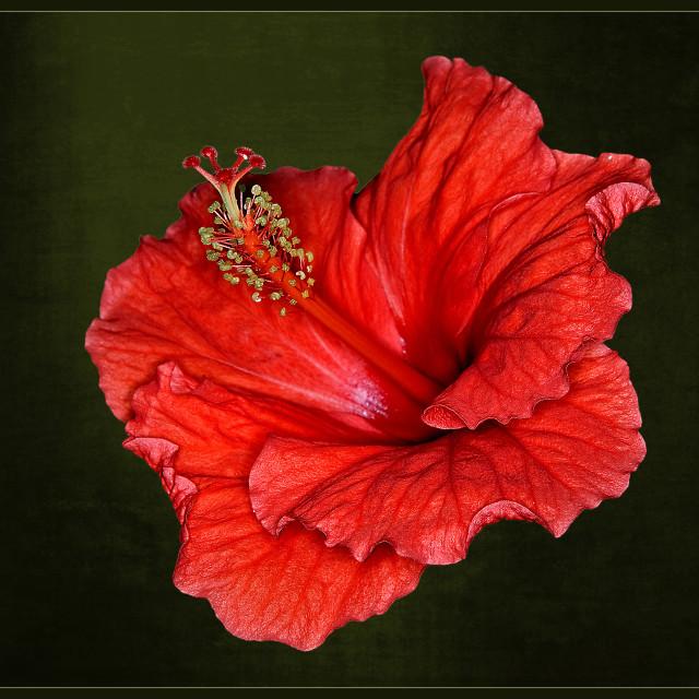"""""""Hibiscus (Hibiscus striatus)"""" stock image"""