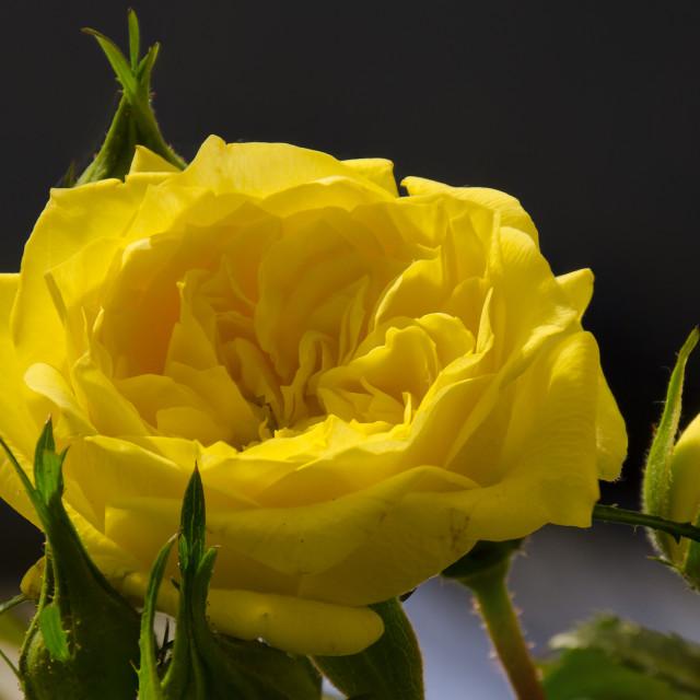 """Yellow rose full burst"" stock image"