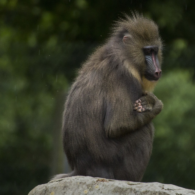 """Baboon in the Rain"" stock image"